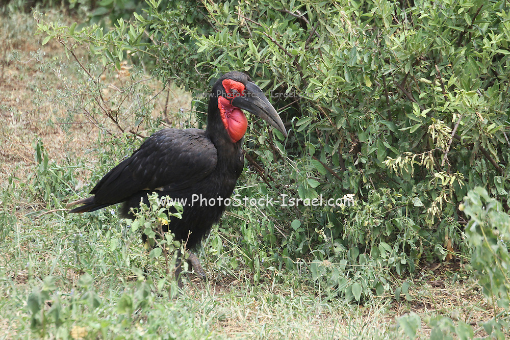 Ground hornbill (Bucorvus leadbeateri) showing the long curved bill and casque (horn on top of bill) of a hornbill. This hornbill is entirely carnivorous, patrolling a large territory on foot in a family group of up to eight birds. Its diet can include insects, tortoises, hares, snakes, toads and snails. The ground hornbill can reach over a metre in height and 65 years of age, being one of the longest-lived birds in southern Africa. It can fly, though it is reluctant to do so. The ground hornbill is found in the woodlands and grasslands of southern Africa. Photographed in Tanzania