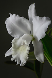 Cattleya, white #9