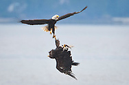 two bald eagles (Haliaeetus leucocephalus) are tangled by their talons as one attempts to steal a fish from the other but the immature eagle (upside down) manages to hang onto its catch.  Hood Canal of the Puget Sound, Washington, USA