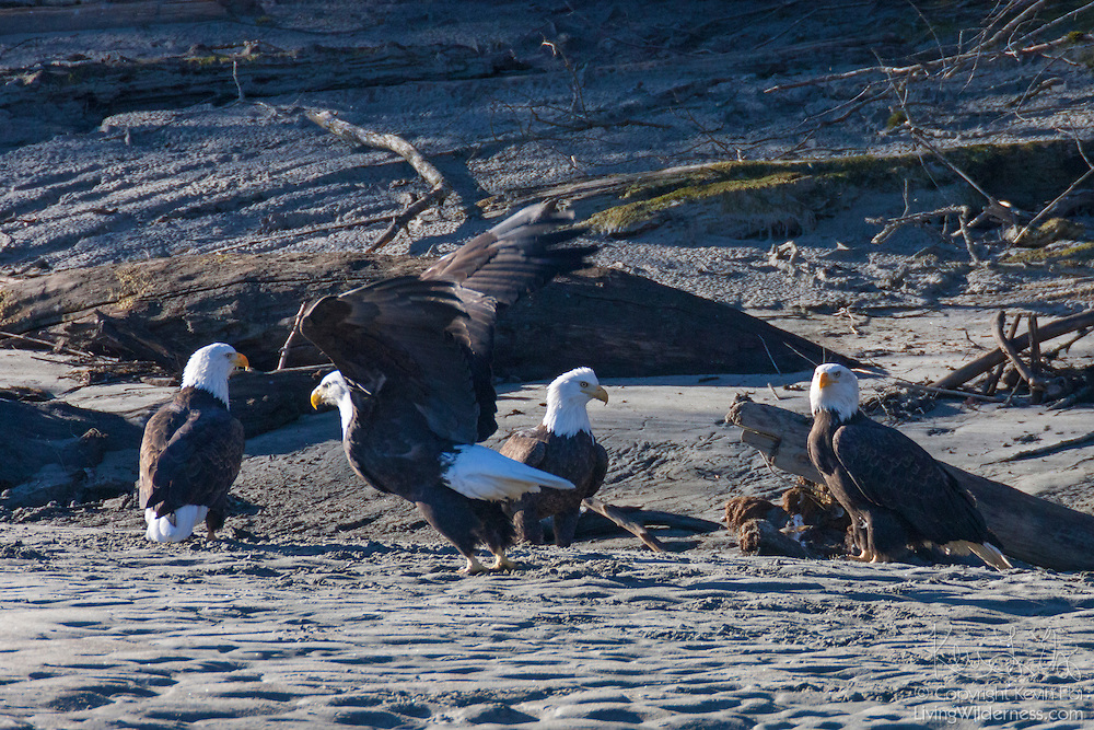 Four adult bald eagles (Haliaeetus leucocephalus) rest on the beach along the Squamish River near Brackendale, British Columbia, Canada. Hundreds of bald eagles winter in the Squamish River Valley to feed on spawned salmon.