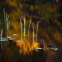 Cattails and pond reflections at Elmwood Farm in Hopkinton, Massachusetts.