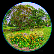 A garden of Rudbeckia at Mount Auburn Cemetery in Cambridge, Massachusetts as seen through an 8mm fisheye lens.  Rudbeckia, also commonly known as coneflowers and black-eyed-susans, are native to North America and a member of the sunflower family.  These perennial plants grow 0.5–3 meters (1.6 - 9.8 feet) tall depending on the species and are eaten by some caterpillars, including those of the Cabbage Moth and Dot Moth.  The 8mm fisheye lens used in this photograph provides 180 degrees of view in all directions.