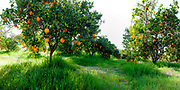 Hi Res panorama of orange grove in Inland Empire of California