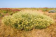 The Curry plant, Helichrysum italicum, Shingle Street, Hollesley, Suffolk, England, UK