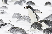 An Adelie penguin (Pygoscelis adeliae) with a pebble in its mouth walks past incubating Adelies that are covered in snow, Brown Bluff, Tabarin Peninsula, Antarctica