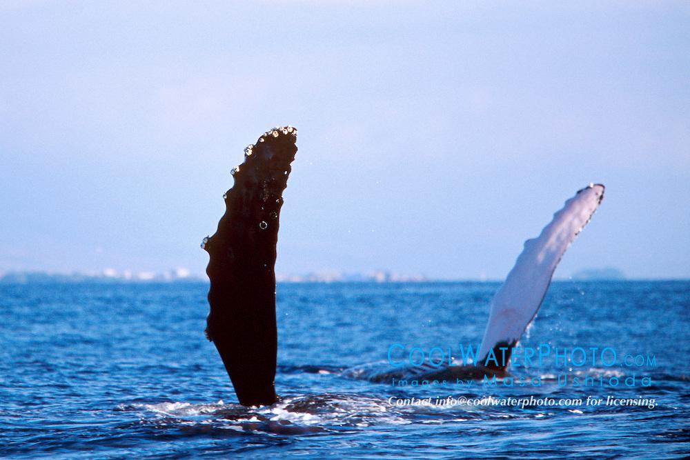 humpback whale double pec-slapping, Megaptera novaeangliae, Big Island, Hawaii, Pacific Ocean