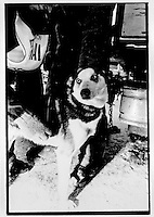 Veterinarian check, UP 200 Sled Dog Race, 1993 Marquette, Michigan