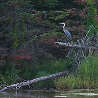 A great blue heron (Ardea herodias) perches in a tree above Lake of the Woods, Ontario, Canada.