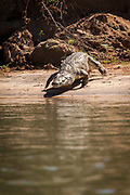 Nile crocodile by lower Zambezi River in Mana Pools National Park, Zambia