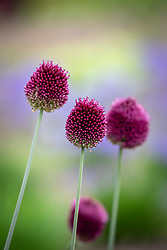Allium sphaerocephalon AGM - Round headed garlic