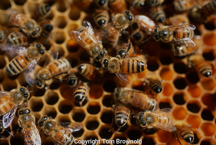 Honey bees on honey comb with larva and nectar