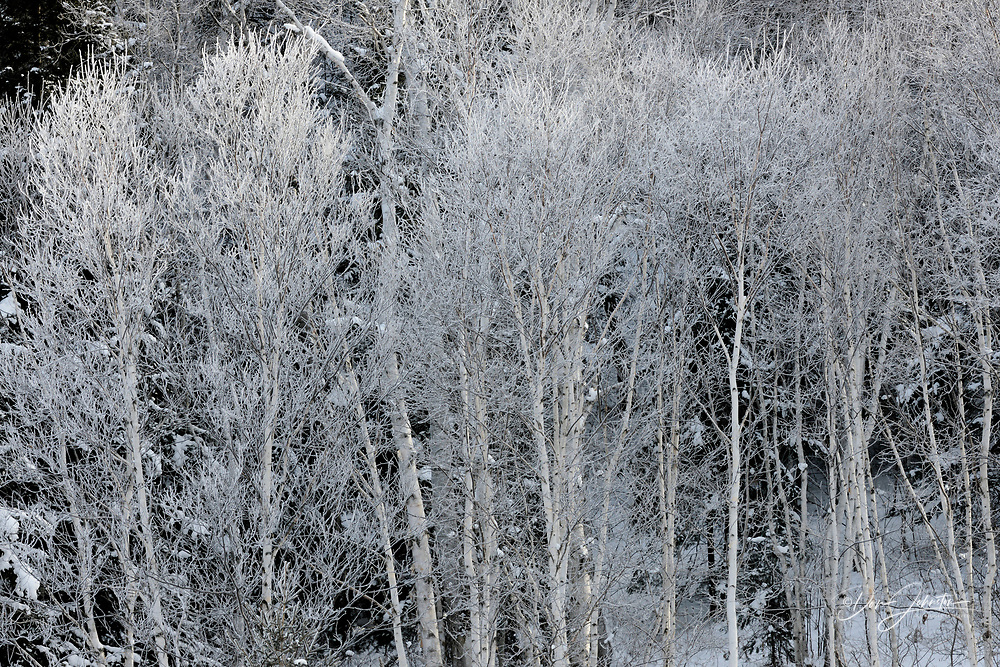 Frosted White birch (Betula papyrifera) in Junction Creek valley, Greater Sudbury (Lively), Ontario, Canada