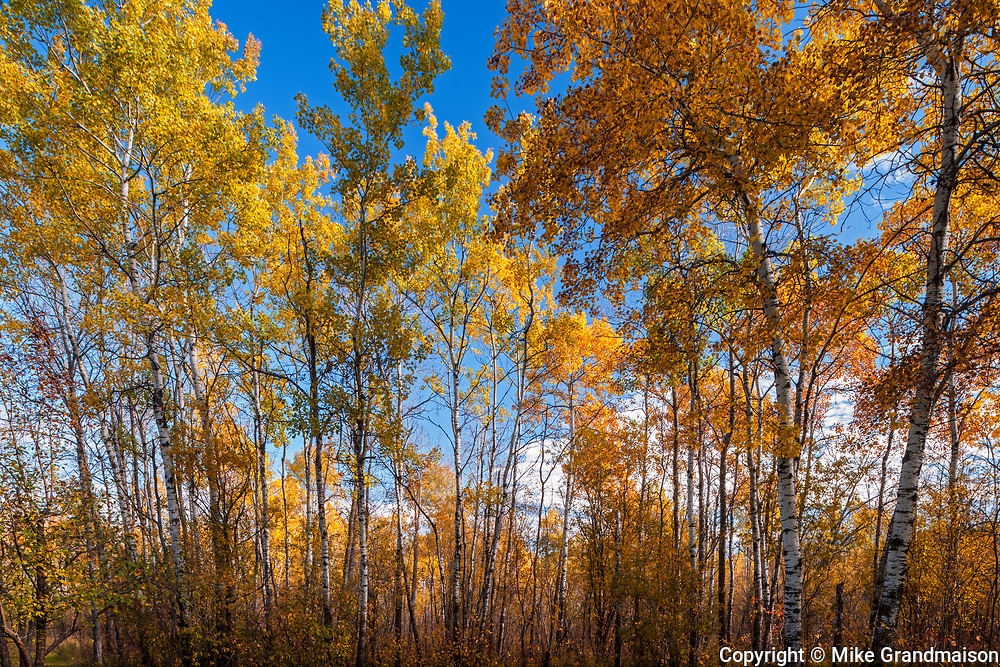 Aspen (Populus tremuloides) forest in autumn colors, Ste. Anne, Manitoba, Canada