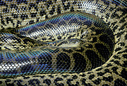 Yellow Anaconda Snake, Euneces notaeus, South America, nonvenomous boa species endemic to South America, aquatic,