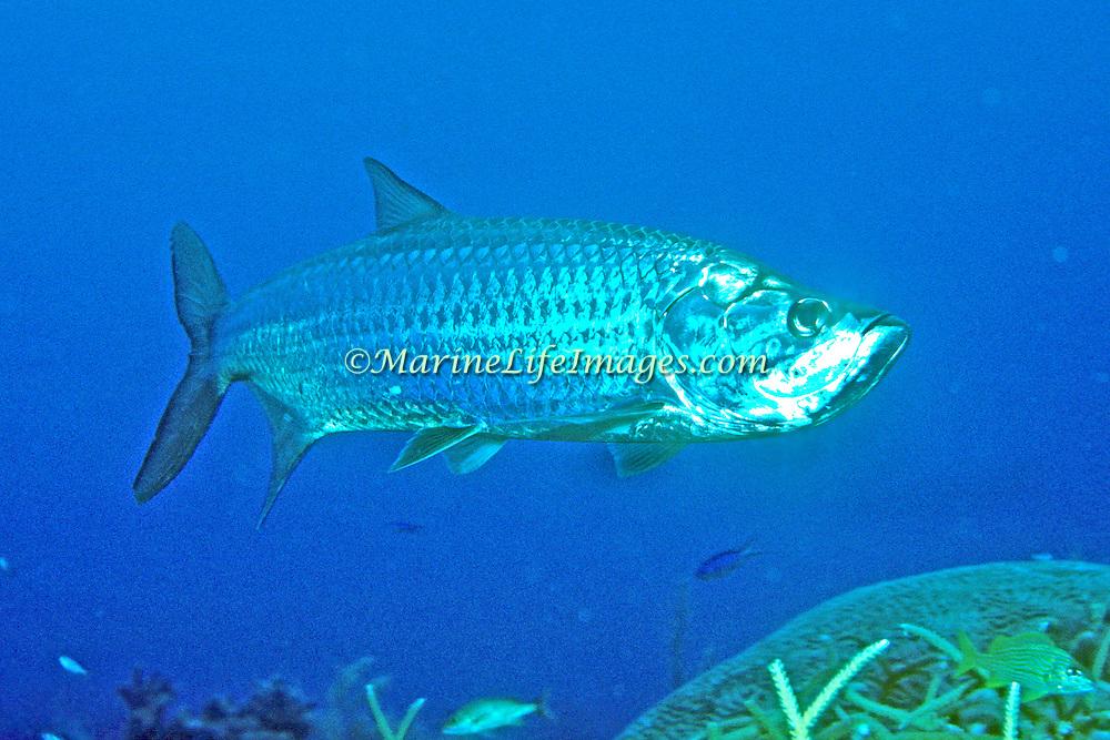 Tarpon inhabit open areas around reefs in Tropical West Atlantic; picture taken Key Largo, FL.
