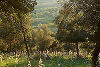 Apulia; cultivated landscape; Gargano National Park; Gargano Peninsula; Holm Oak; Italy; Monte Sacro; Quercus ilex