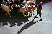 Early morning light casts long shadows from a goatherder and his flock in Kashmir, India.