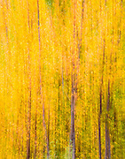 The wind russels through the aspens and creates a pleasant sound, making one stop and listen to the sounds of nature.