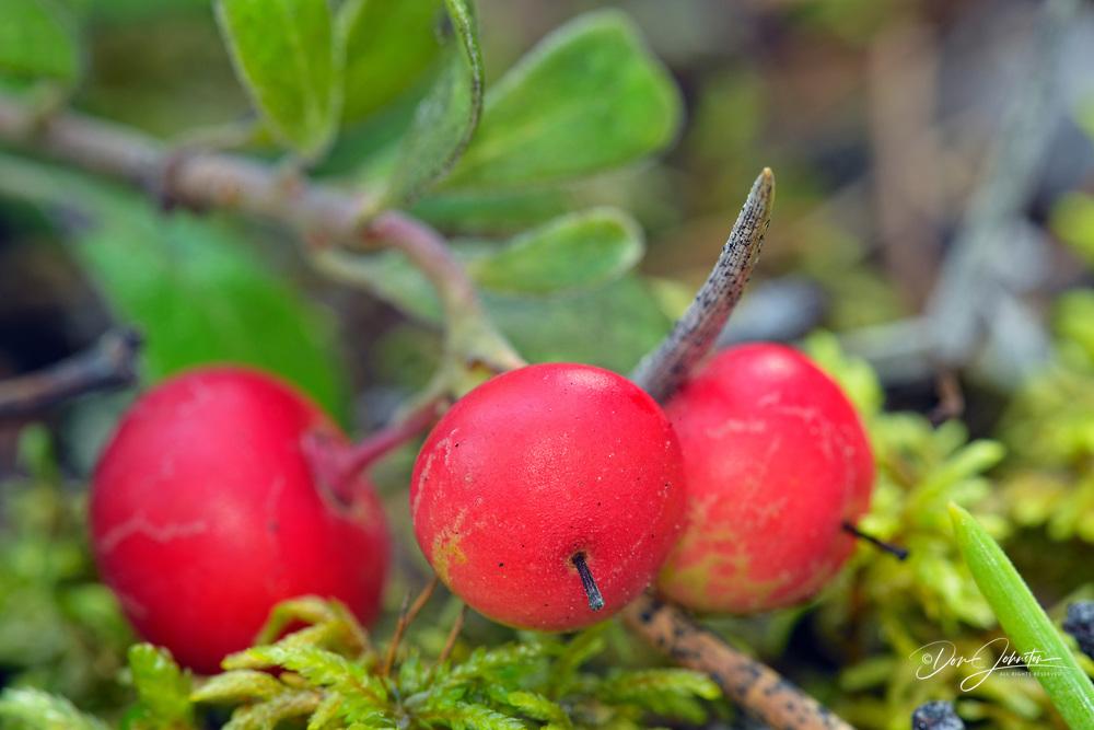 Cranberries, Twin Falls Territorial Parka, Northwest Territories, Canada