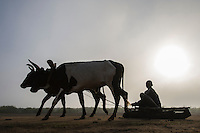 Oxen pulling a wooden sled and small boy in morning mist, Limpopo floodplain, Maputo Province, Mozambique