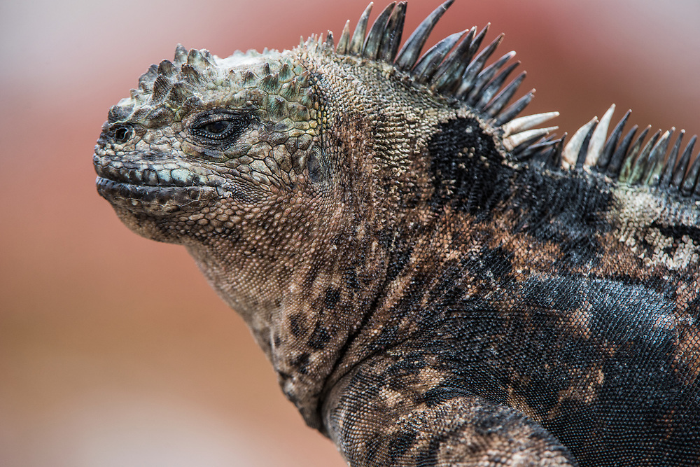 Marine Iguana (Amblyrhynchus cristatus) <br /> South Plazas Island<br /> Galapagos<br /> Ecuador, South America<br /> ENDEMIC TO THE ISLANDS