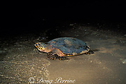 hawksbill turtle, Eretmochelys imbricata, crawls back into the ocean after laying eggs on beach, Gulisaan Island, Sabah, Borneo, Malaysia  ( South China Sea )