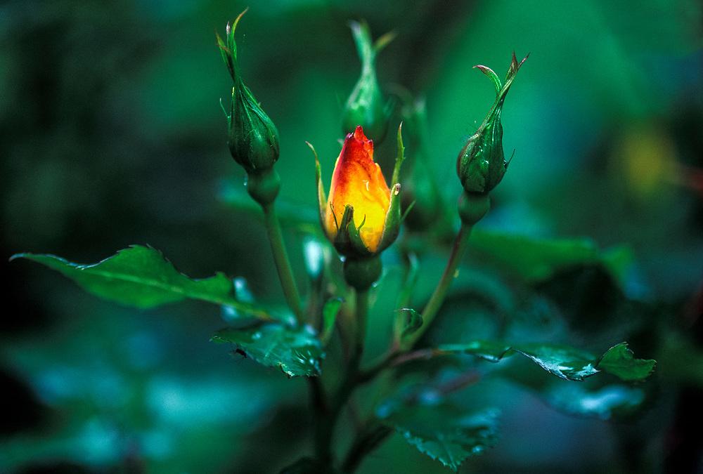 Rose buds after a rain.