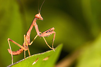 A young praying mantis on a green leaf.