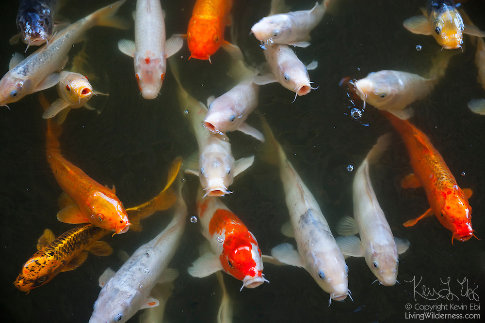A large school of koi (Cyprinus carpio), a domesticated type of common carp, wait to be fed in a pond in Makena, Maui, Hawai`i.