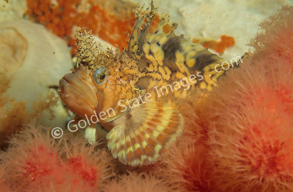 Species: Chirolophis decoratus