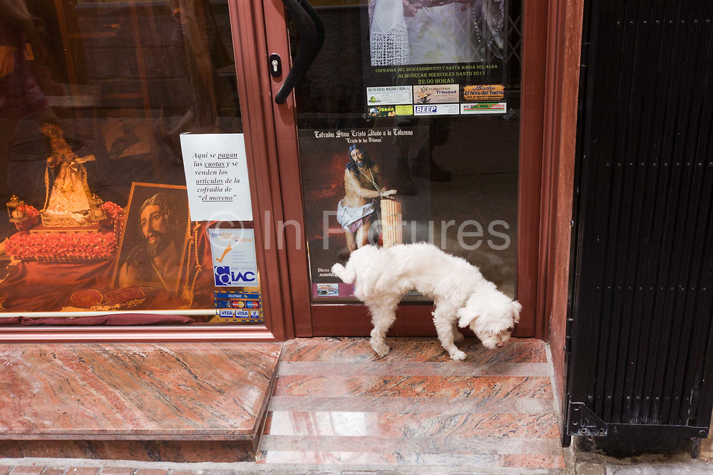 A small dog pees in the doorway of a religious shop in La Herradura on the Costa del Sol. Near the depictions of the holy figures of Jesus during Semana Santa (Holy Week) when processions and celebration marking Easter take place across Spain, the dog disobediently wees against the door, lifting its right rear leg up high to aim its secretion.