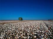 Harvesting Cotton, Narrabri, NSW, Australia