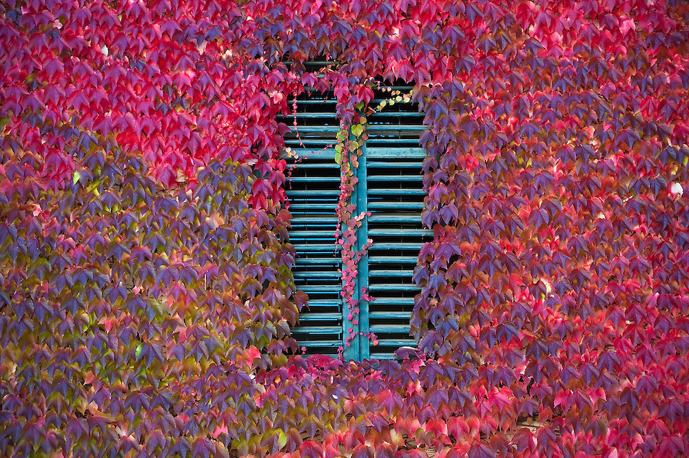 BOLZANO, ITALY - OCTOBER 14:   .A green window is surrounded by maple leaves that is turning to red Autumnal foliage on October 14, 2010 in Bolzano, Italy. Italy is currently enjoying the final warm spells of the summer,however, theshortening daylight hours and cooler weather is bringing Autumn foliage colours across the country.