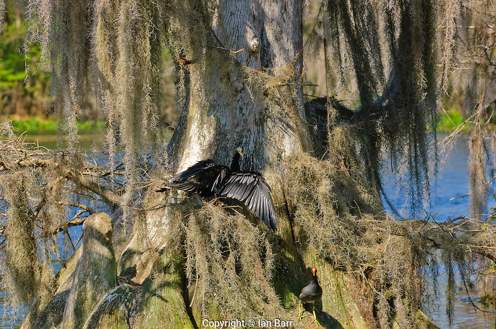 Anhinga drying its wings  in the sun with a Moorhen in the foreground at Wakulla Springs State Park,Florida.