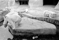 Polar bears wander around their enclosure at the Parc Zoologique de Paris in the Bois de Vincennes, Tuesday, June 10, 1984, in Paris. (Photo by D. Ross Cameron)