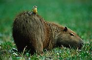 Capybara, Hydrochoerus hydrochaeris, Pantanal, Brazil