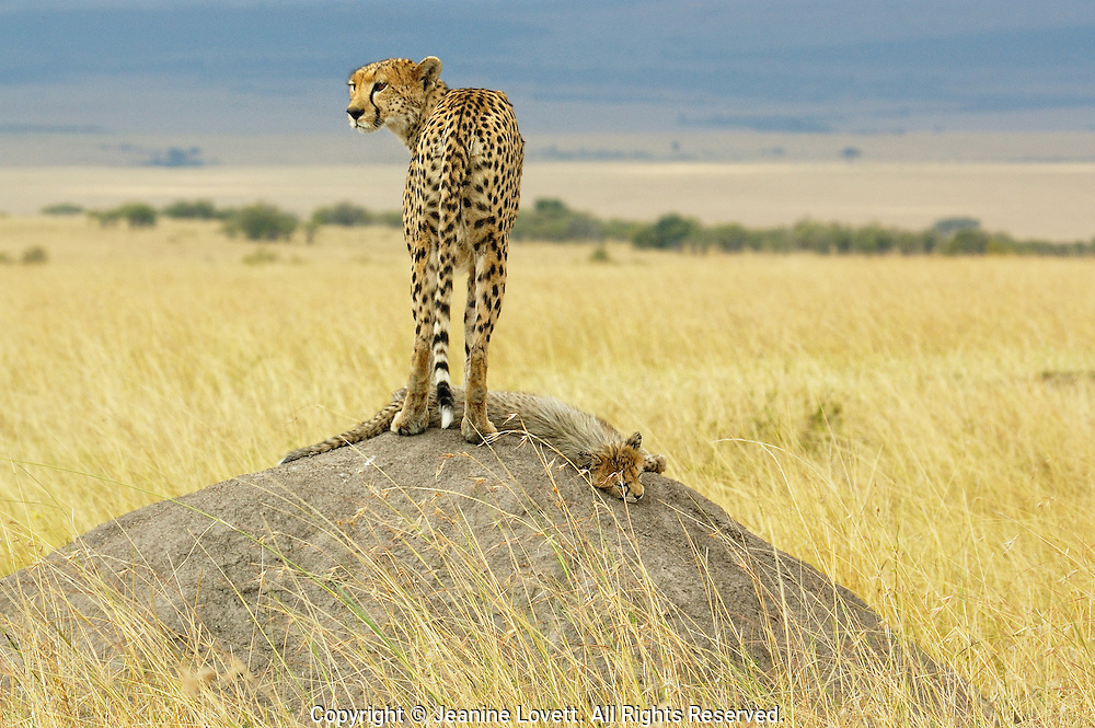 Cheetah with cub on mound with her cub at her feet laying across the mound, with a beautiful African Savanna background.