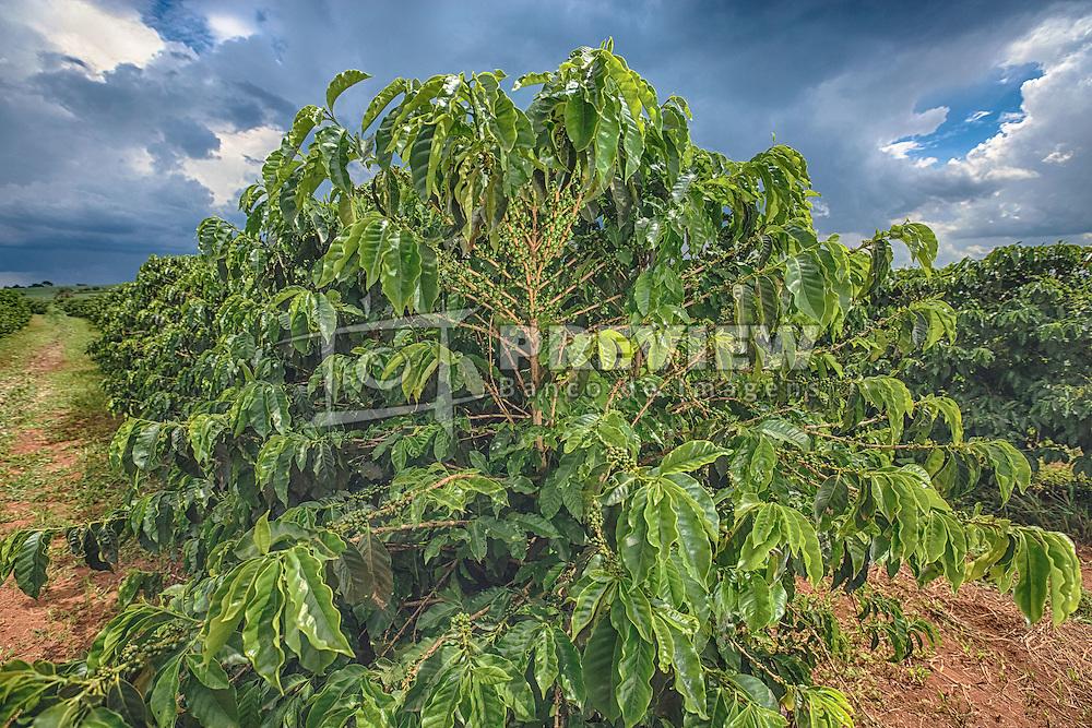 Lavoura de café na área rural de Uberaba, Minas Gerais. FOTO: Jefferson Bernardes/Agência Preview