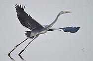Grey heron, Ardea cinerea, Nansha wetland reserve, Guangdong province, China