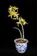 Dendrobium orchid bloomed by the photographer.  The Dendrobium genus of orchids was established in 1799 and contains about 1,200 species. Dendrobium grow in diverse habitats throughout much of south, east and southeast Asia, including the Philippines, Borneo, Australia, New Guinea, Solomon Islands and New Zealand.