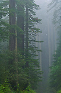 Redwood trees and forest in the fog and rain, Redwood National Park, California