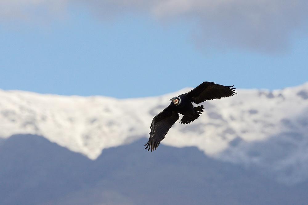 Great Cormorant (Phalacrocorax carbo) at the Lake Kerkini, Macedonia, Greece. February 2009