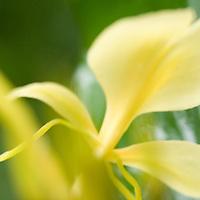 Yellow Ginger blossom
