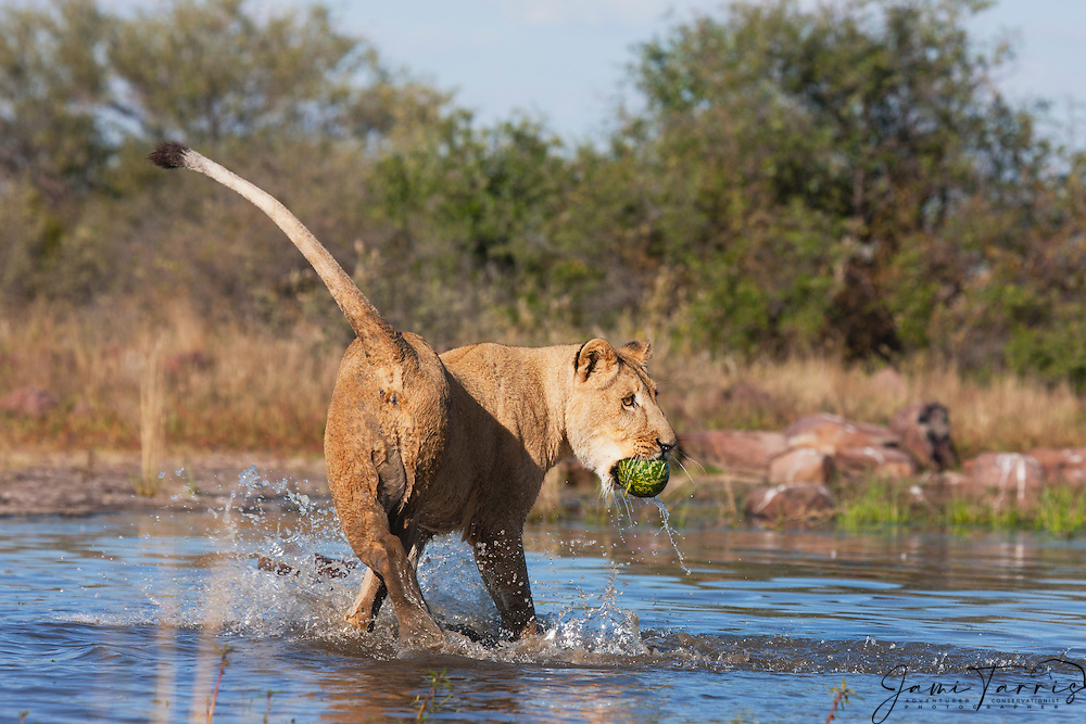 A lioness walking in the water with a wild melon in its mouth(Panthera leo), Kalahari Desert, Botswana Africa