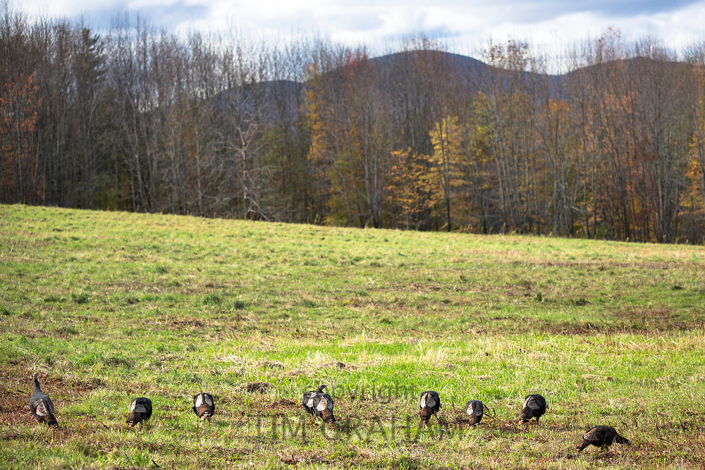 Turkeys grazing at Stowe in Vermont, New England, USA