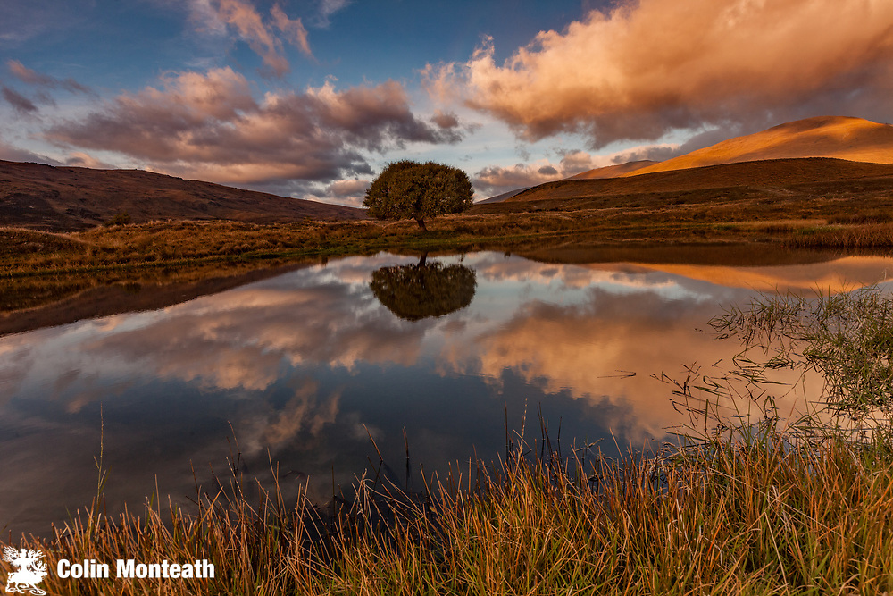 Lone willow tree, reflection in pond, dawn, The Nevis, Otago, New Zealand