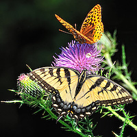Two Butterflies and a Crab Spider on a Thistle Bloom. Summer Nature at the Sourland Mountain Preserve in New Jersey. Image taken with a Nikon D3x and 70-300 mm VR lens (ISO 640, 300 mm, f/11, 1/250 sec)..