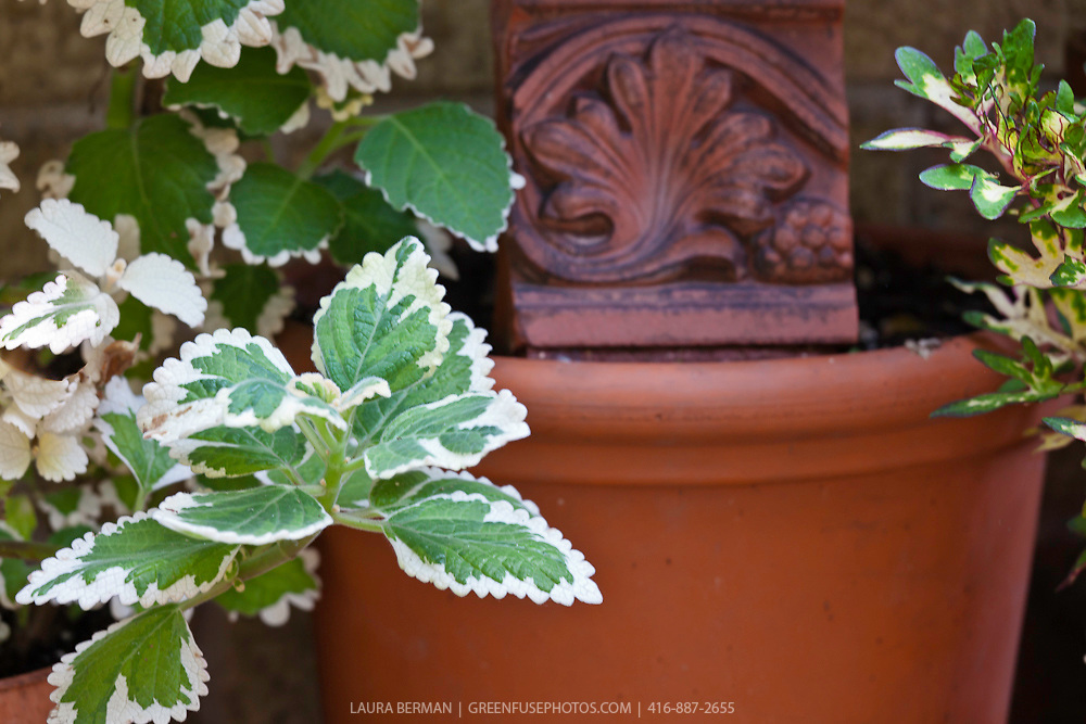 Variegated Jamaican thyme in a decorative terra cotta pot (Plectranthus amboinicus)
