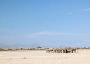 Herd of African Elephants, Amboseli National Park, Kenya