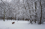 Heavy overnight snowfall covers London in a thick blanket of fine snow. The heaviest snowfall in decades. Two dogs find time for romance under snow covered trees at a park in Wapping, East London.